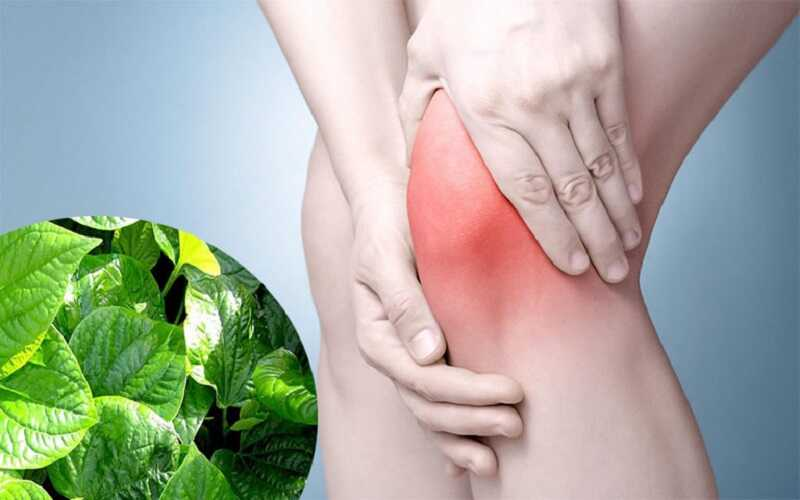 Trong lá lốt có chứa khá nhiều các hoạt chất có công dụng giảm đau khớp