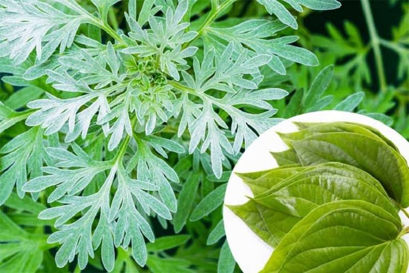 Cách chữa viêm âm đạo bằng lá trầu không và cây ngải cứu