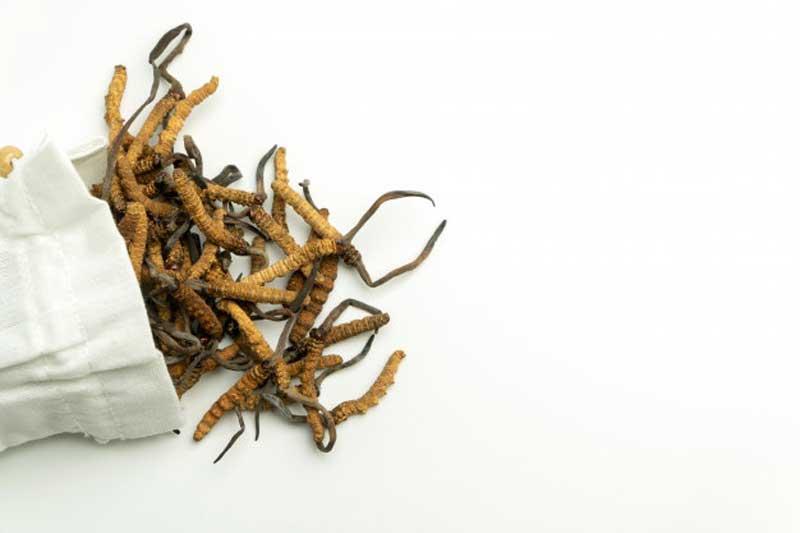 Đông trùng hạ thảo là bài thuốc quý trong Đông y