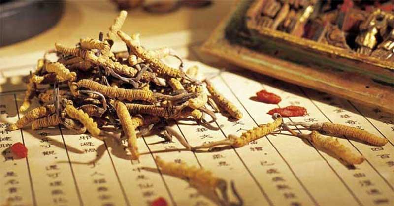 Đông trùng hạ thảo được nuôi cấy tại Việt Nam để đáp ứng nhu cầu sử dụng