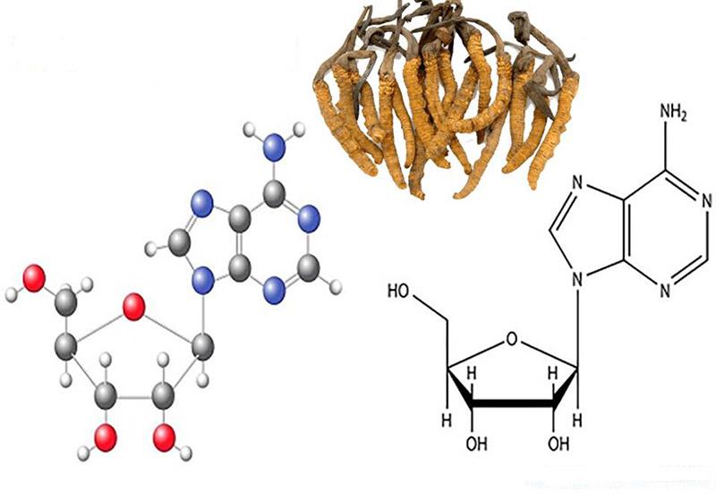Hàm lượng dồi dào hoạt chất Cordycepin trong Đông trùng hạ thảo được đánh giá là có hiệu quả trong việc điều trị bệnh ung thư