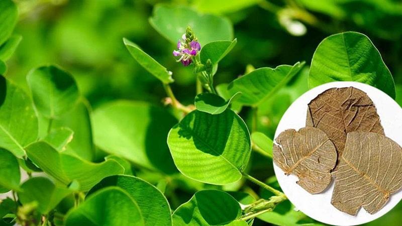 Hình ảnh cây kim tiền thảo trong tự nhiên