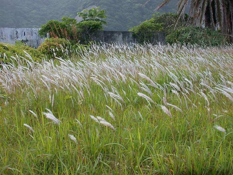 Rễ cỏ tranh chữa bệnh thận yếu