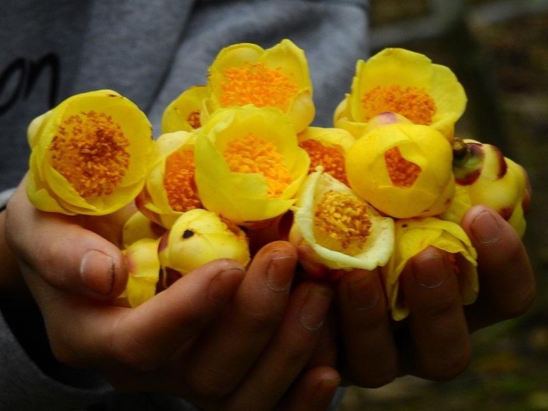 Bộ phận dùng làm thuốc là lá, búp non, hoa