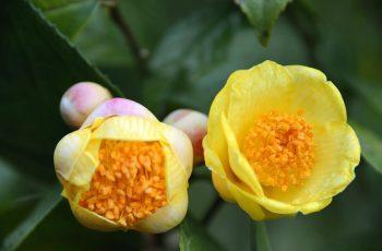 Trà hoa vàng - Đặc điểm, công dụng, cách dùng và giá bán