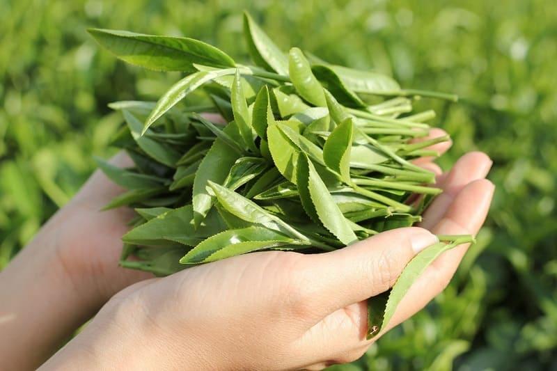 Lá trà xanh có tác dụng chữa viêm âm đạo