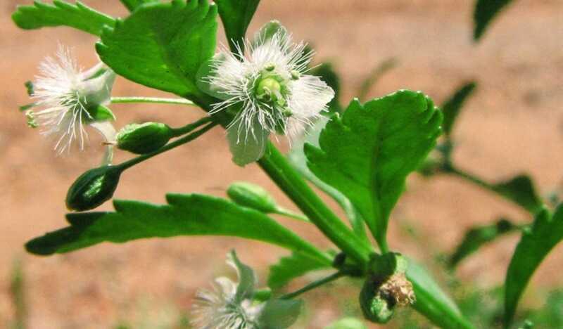 Cam thảo là thảo dược không thể thiếu trong nhiều bài thuốc Đông y