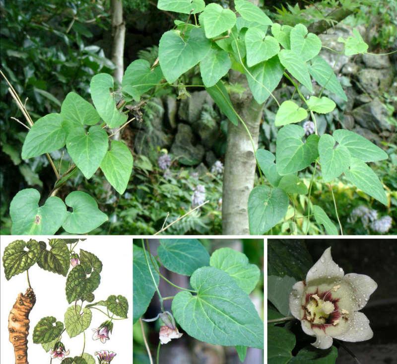 Hình ảnh cây đẳng sâm trong tự nhiên