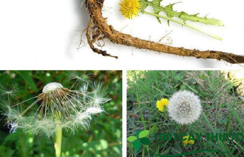 Bồ công anh kết hợp với cây khôi là bài thuốc lành tính được nhiều người đau dạ dày sử dụng