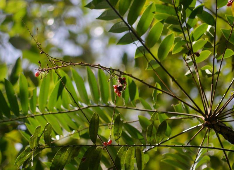 Hình ảnh cây mật nhân xuất hiện trong tự nhiên