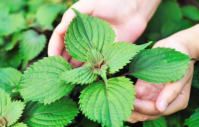 Nấu nước lá tía tô là cách chữa đau dạ dày khẩn cấp hiệu quả