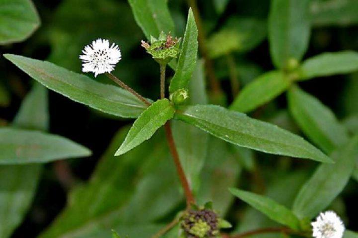 Chữa suy thận bằng cây cỏ mực là bài thuốc Nam quý, rẻ tiền mà hiệu quả
