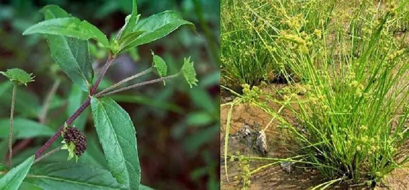 Đăng tâm thảo kết hợp với cỏ mực giúp lợi tiểu, lợi thận