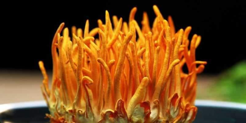 Trùng thảo là dược liệu rất tốt cho sức khỏe người dùng