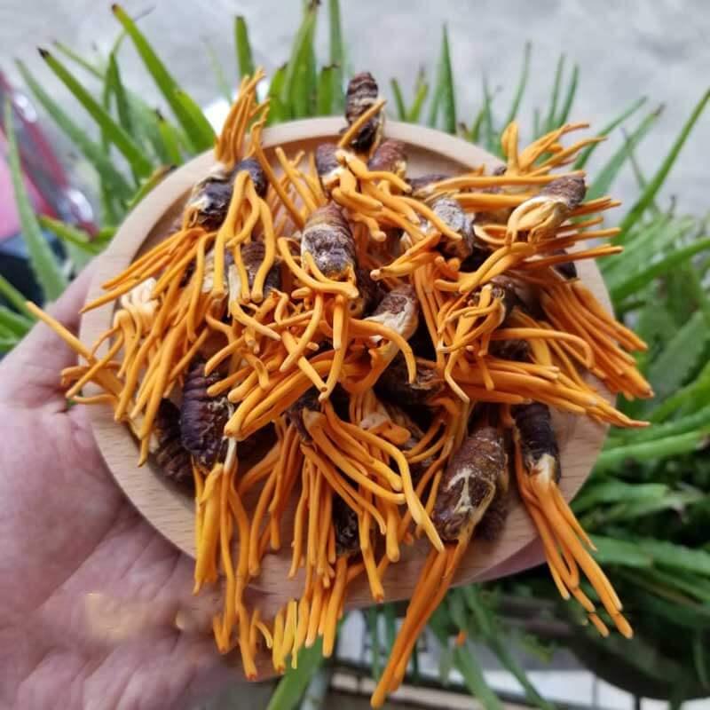 Những lưu ý khi mua đông trùng hạ thảo Đà Nẵng