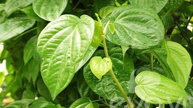 Chị em có thể cải thiện bệnh viêm lộ tuyến bằng nguyên liệu quen thuộc là lá trầu không