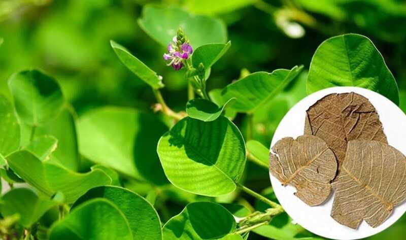 Kim tiền thảo là thành phần không thể thiếu trong điều trị sỏi mật