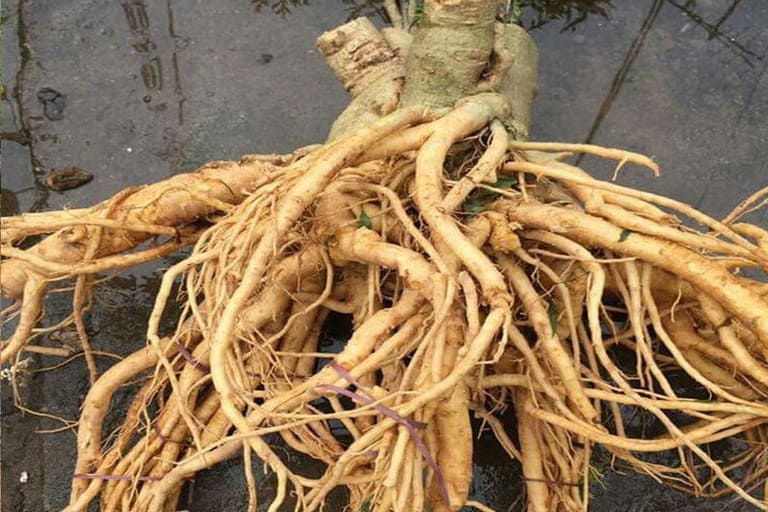 Rễ cây đinh lăng có tác dụng hiệu quả trong việc cải thiện xuất tinh sớm