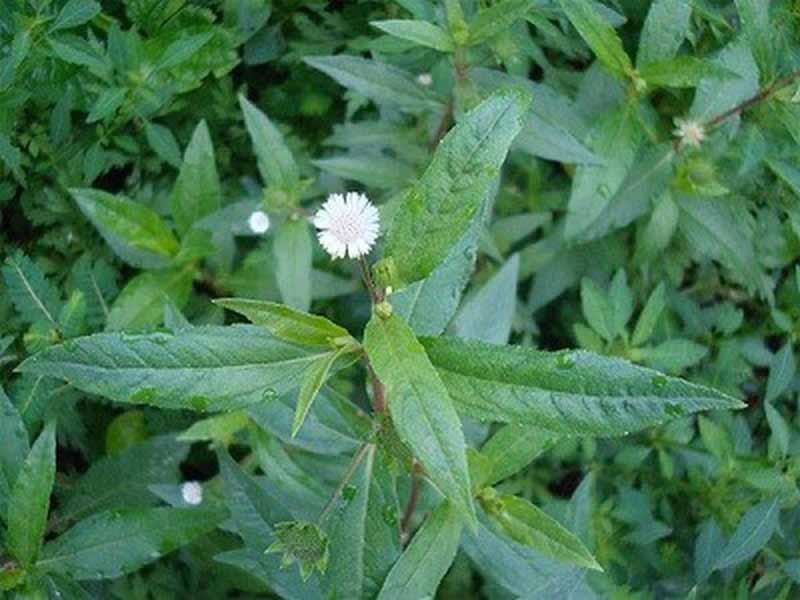 Cỏ nhọ nồi chính là cây cỏ mực quen thuộc trong các bài thuốc đông y