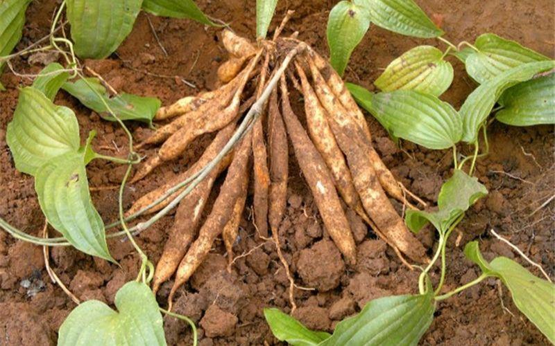 Cây Ba Mươi được tìm thấy nhiều ở bìa rừng, khe suối hoặc trên các vách đá