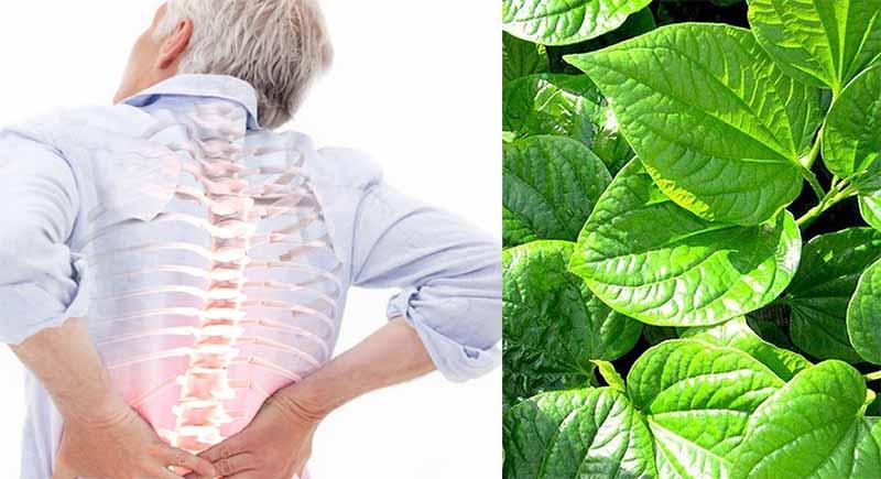 Bài thuốc trị gai cột sống lưng từ cây lá lốt có tốt không?