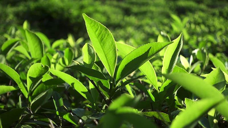Cách chữa viêm cổ tử cung tại nhà bằng trà xanh được áp dụng phổ biến