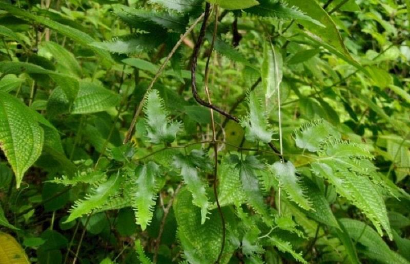 Hình ảnh cây bồng bông ngoài thiên nhiên