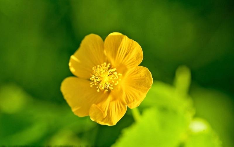 Hoa của cây cối xay màu vàng, nở vào khoảng tháng 4