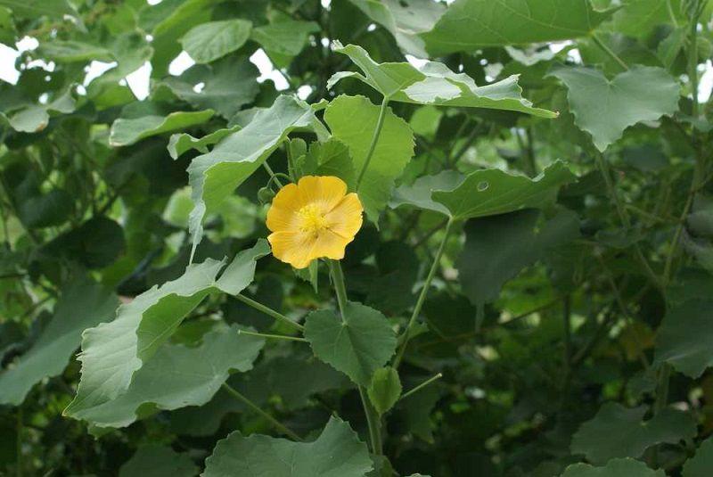 Hình ảnh cây cối xay ngoài tự nhiên rất dễ nhận dạng