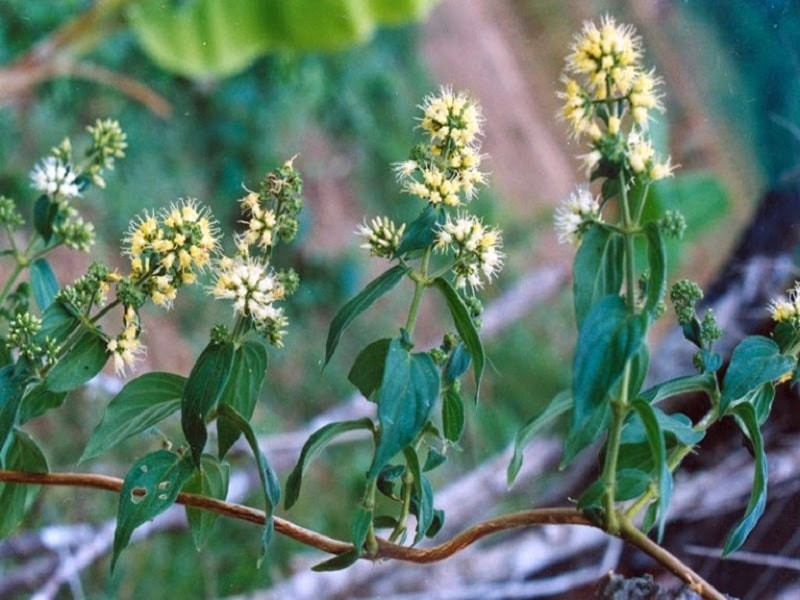 Hình ảnh cây dạ cẩm trong tự nhiên