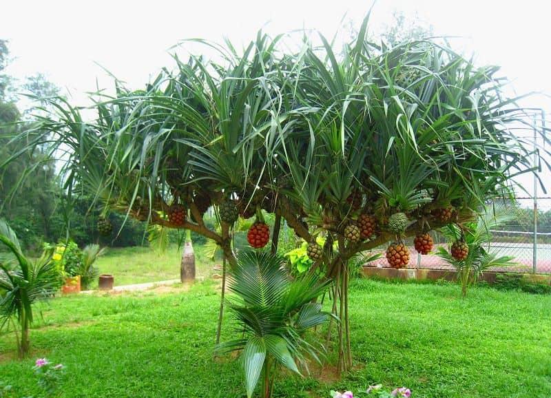 Hình ảnh cây dứa dại ở ngoài tự nhiên