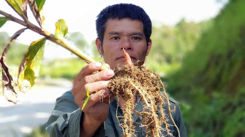 Phần củ và rễ cây thuốc ngải tiên