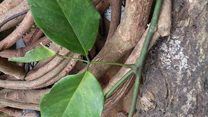 Loại cây này được trồng ở nhiều nơi khác nhau