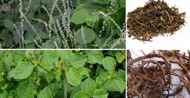 Cây cỏ xước có nhiều tác dụng khác nhau trong Đông y và Tây y hiện đại