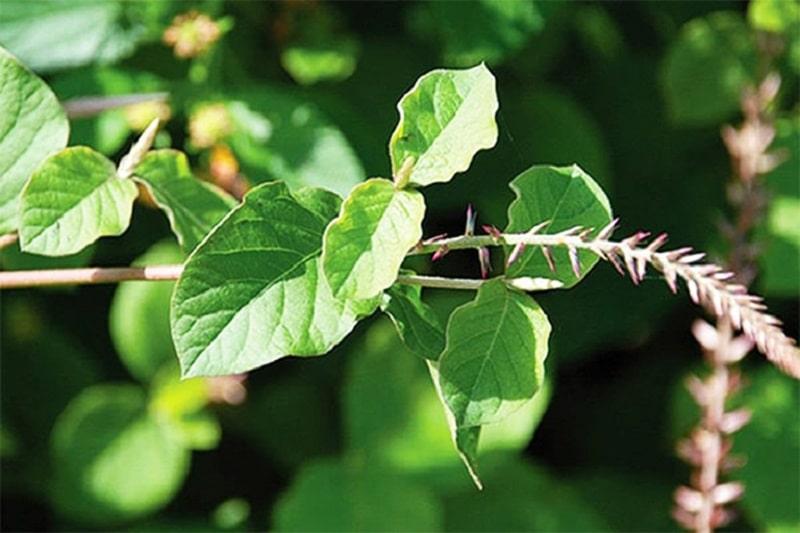 Loại cây này có nhiều thành phần cần thiết cho cơ thể