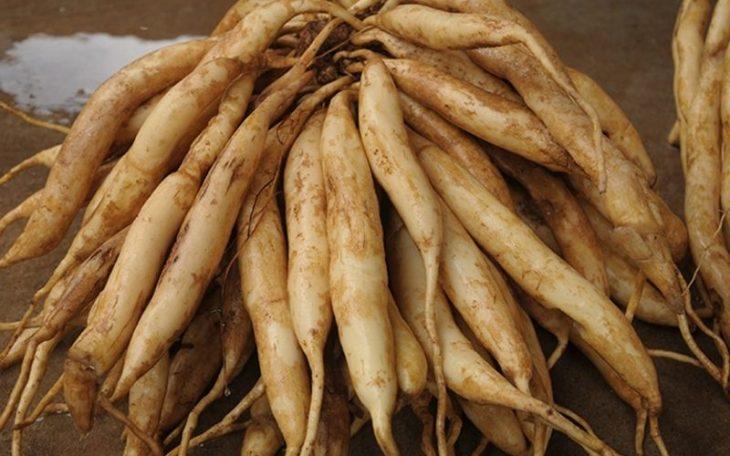 Bộ rễ Cây Ba Mươi đủ tuổi thu hoạch thường có ít nhất là 30 nhánh củ