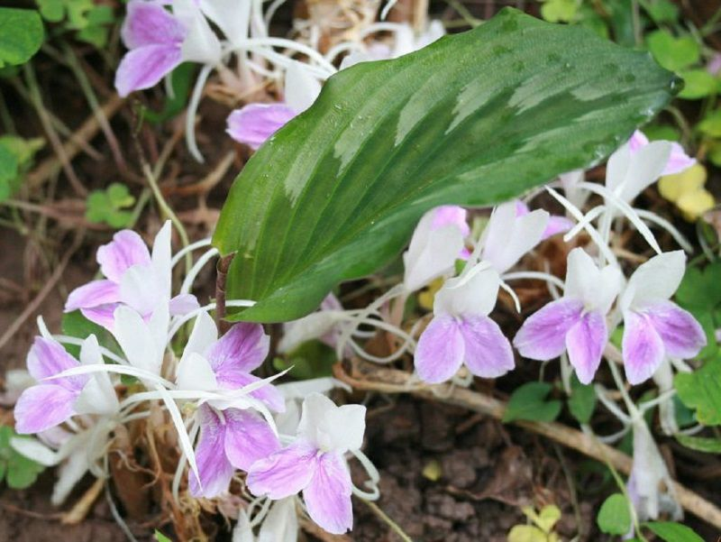 Hình ảnh cây tam thất nam và hoa của nó
