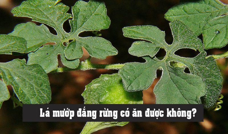 Lá cây này cũng dùng để trị được rất nhiều bệnh