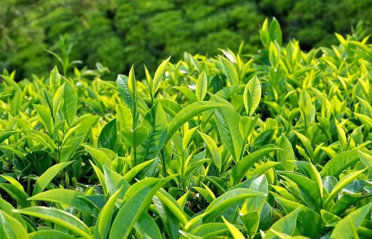 Bạn có thể sử dụng lá trà xanh chữa bệnh mề đay