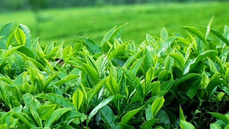 Lá trà xanh có công dụng kháng viêm, kháng khuẩn rất tốt