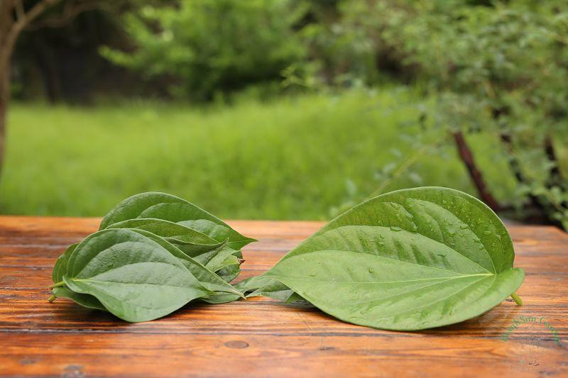 Bạn có thể chữa viêm đường tiết niệu từ lá trầu không
