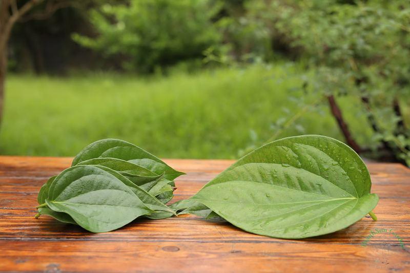 Tinh chất trong lá trầu không có tác dụng chữa bệnh mề đay, mẩn ngứa