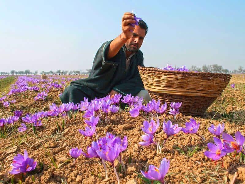 Iran được coi là thủ phủ của loài hoa nghệ tây