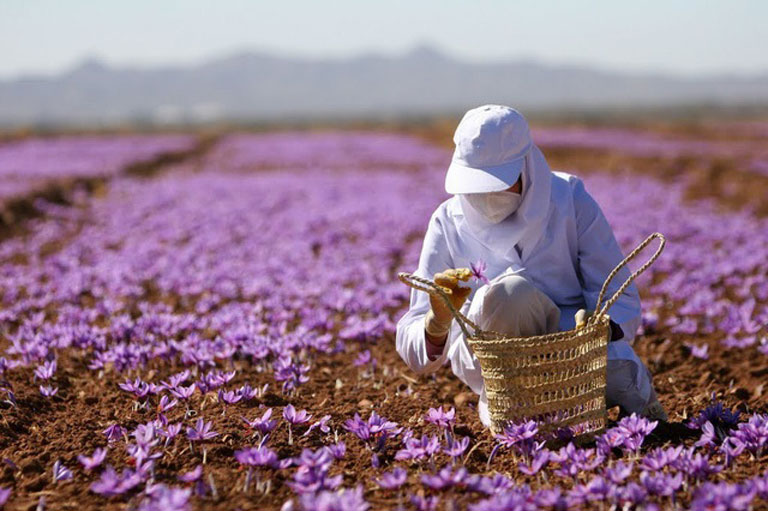 Saffron được nuôi trồng thủ công chuẩn hữu cơ trên quy mô lớn