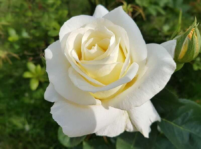 Hoa hồng trắng là một loại thuốc nam trị ho rất hiệu quả nhờ thành phần tinh dầu hoa
