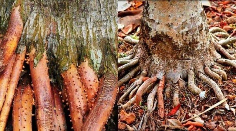 Rễ cau treo là khắc tinh của rối loạn cương dương