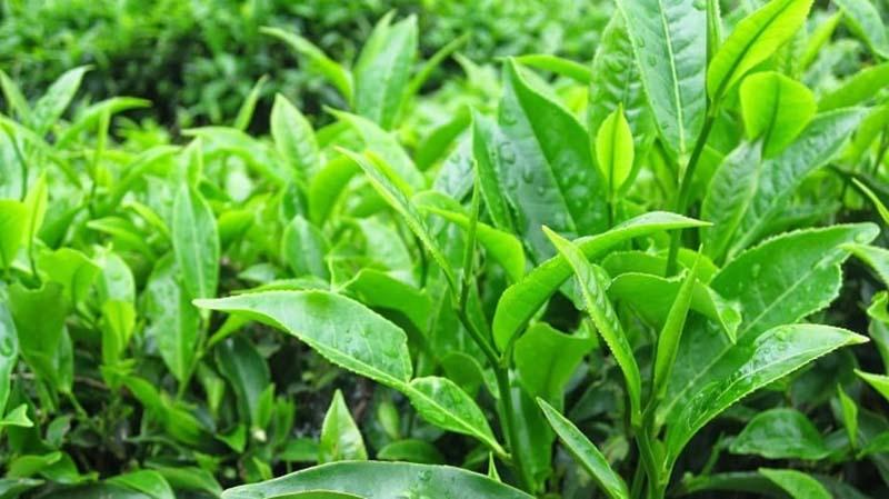 Lá chè xanh là một trong những nguyên liệu giúp chữa bệnh hiệu quả