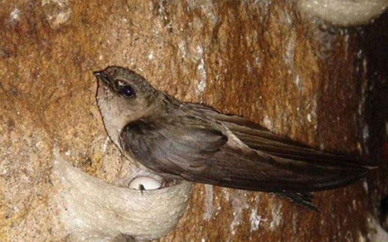 Tổ yến thực tế là nước bọt của chim yến tạo nên