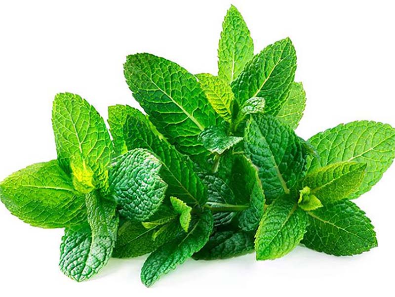 Thành phần tinh dầu từ lá húng chanh sẽ đem lại hơi thở thơm mát