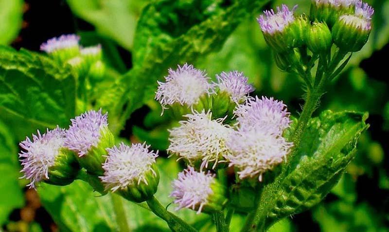 Các hoạt chất cadinen, coumarin, caryophyllene trong cây hoa ngũ sắc có khả năng tiêu diệt nấm giúp da đầu sạch hơn